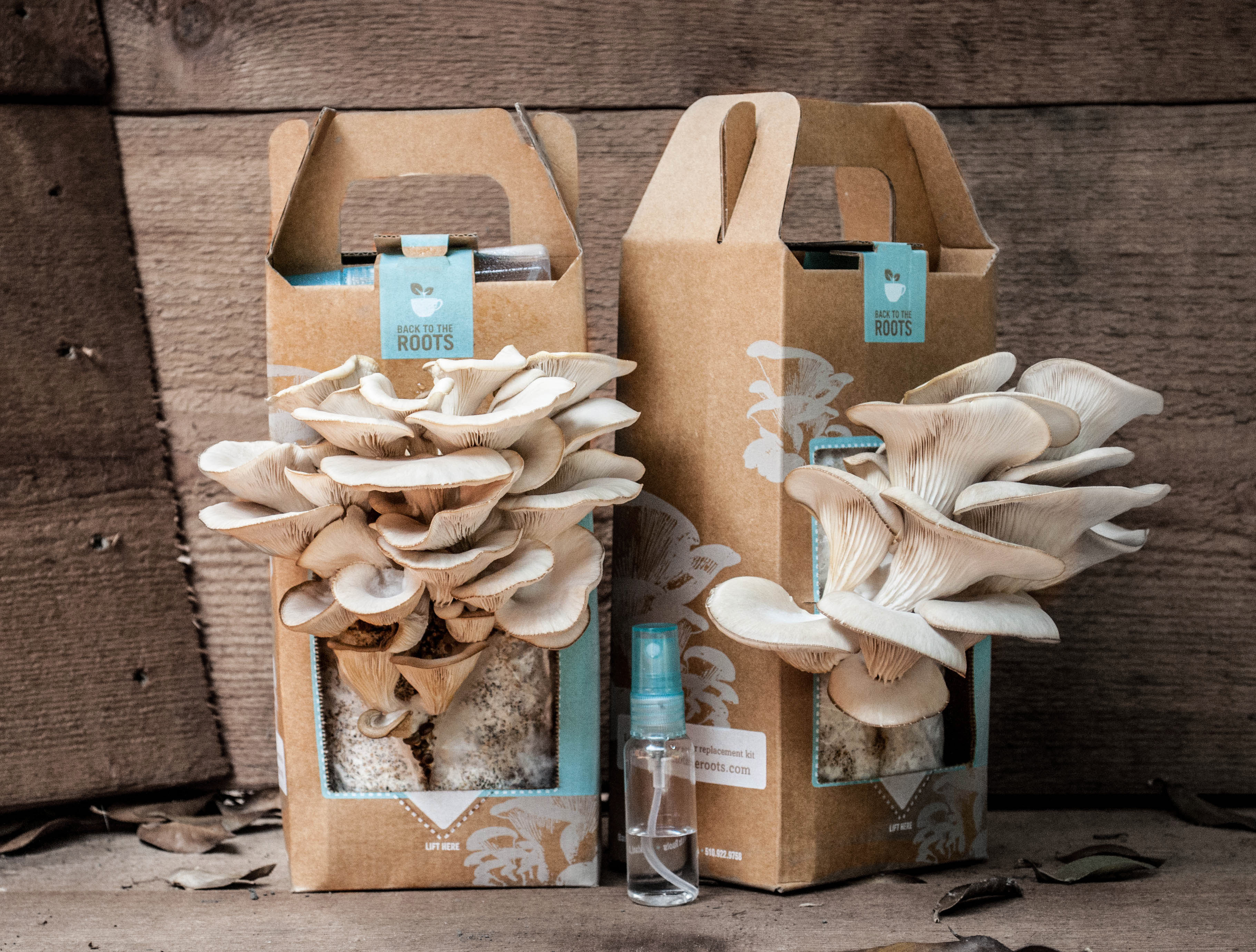 Grow Oyster Mushrooms At Home With Coffee Grounds