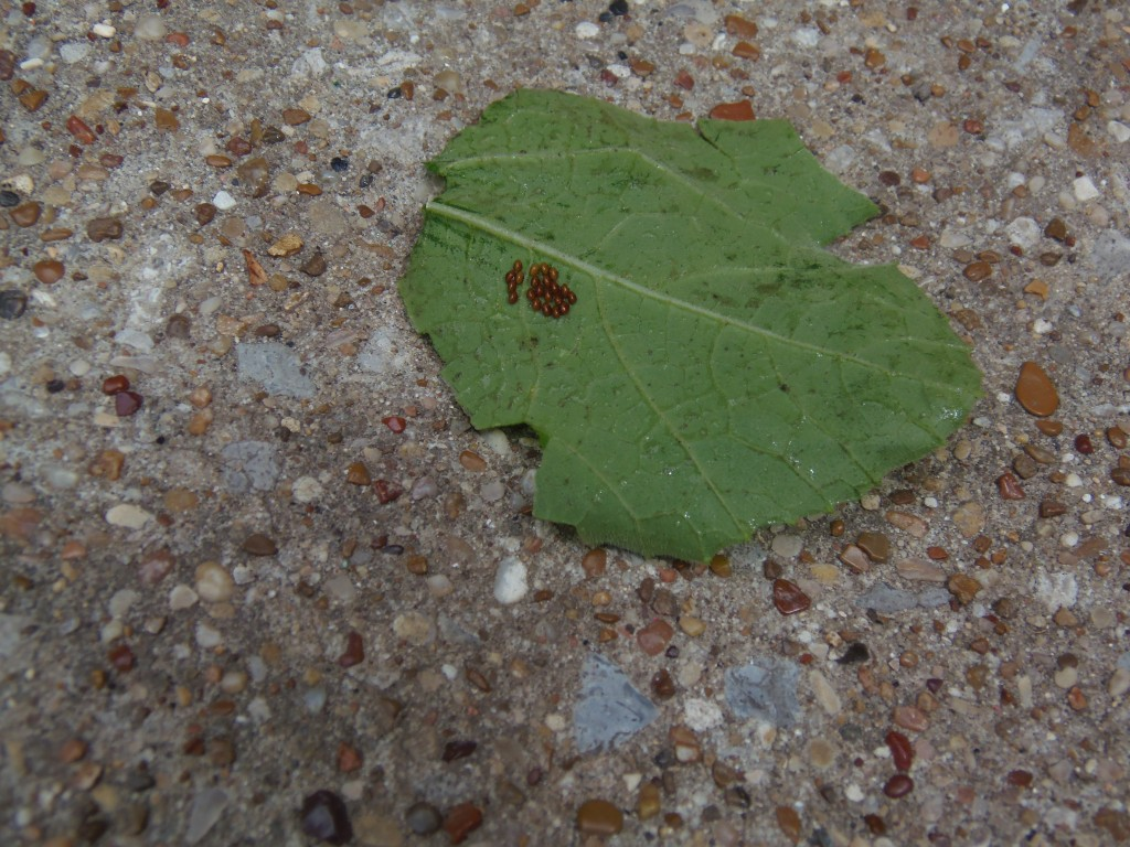How to Naturally Get Rid of Squash Bugs
