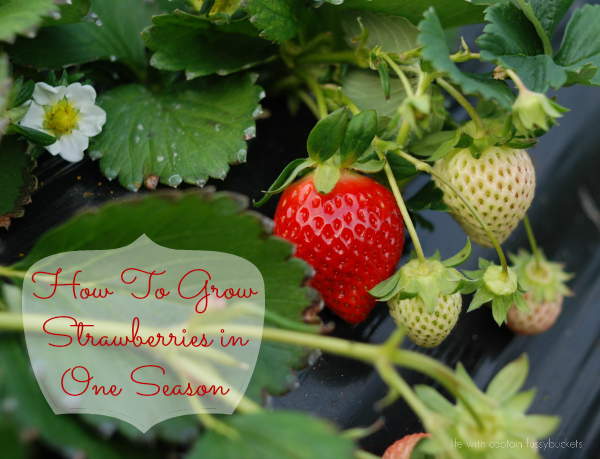 How To Grow Strawberries in One Season