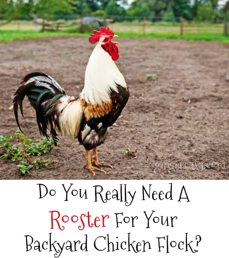 do you need a rooster for your backyard chicken flock