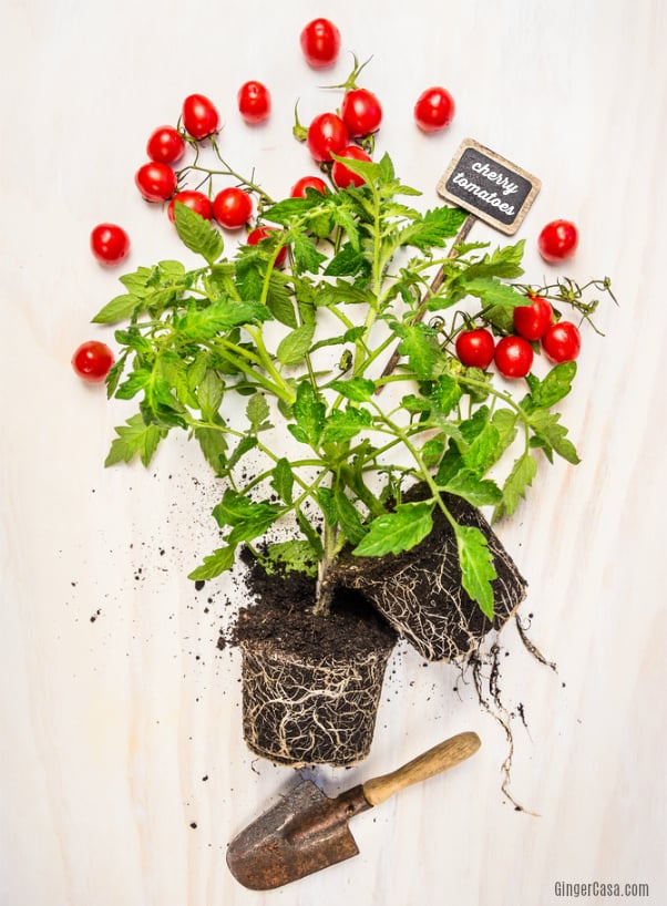 How To Grow Tomatoes Indoors – No Garden? No Problem!
