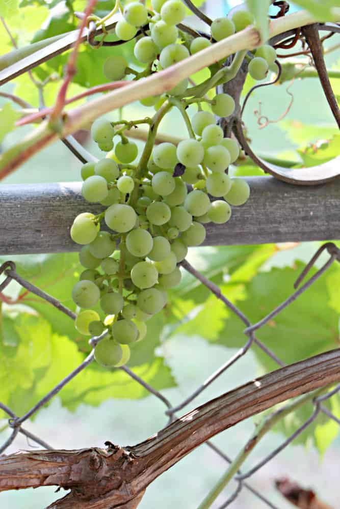 organic fertilizer grapes