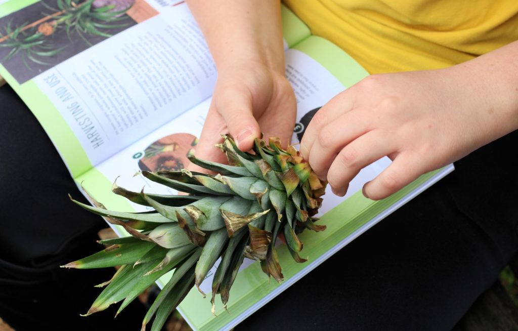 regrow pineapple