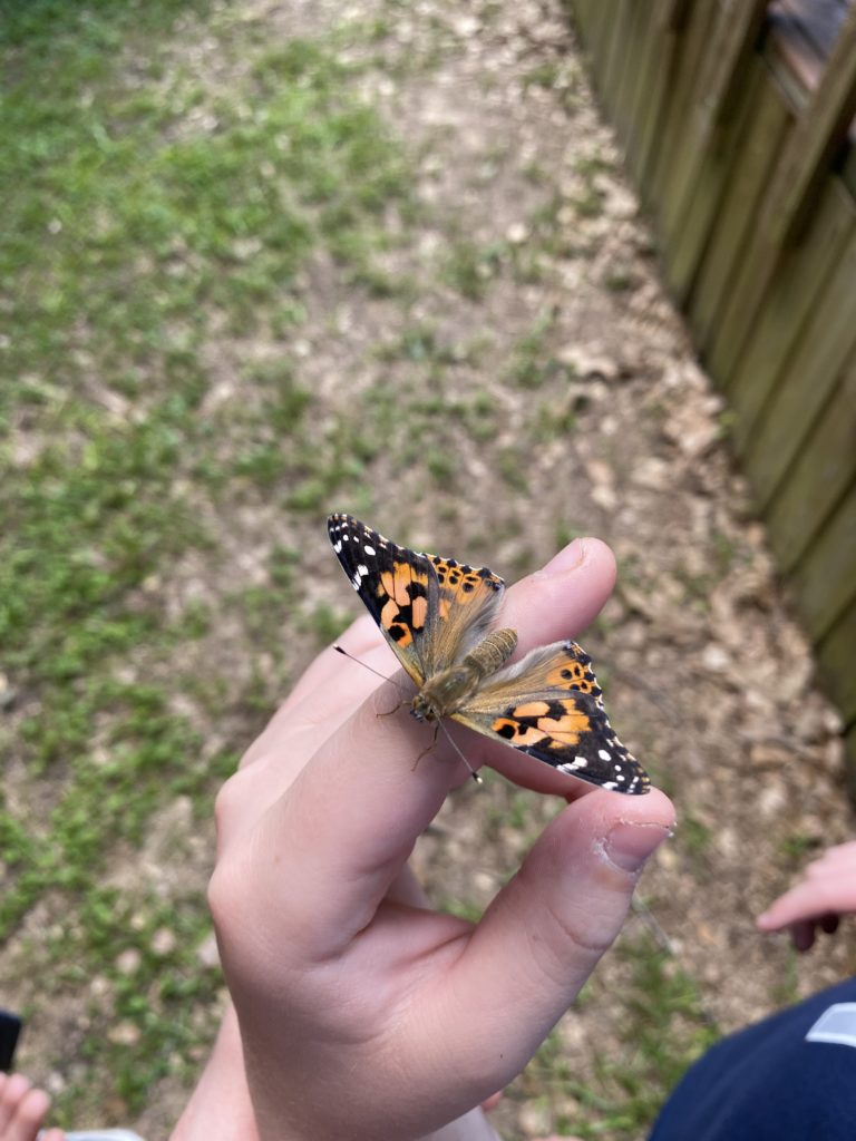 how to make a pollinator friendly yard - painted lady