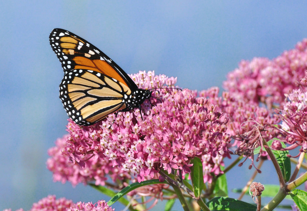 monarch butterfly habitally milkweed pollinator friendly backyard